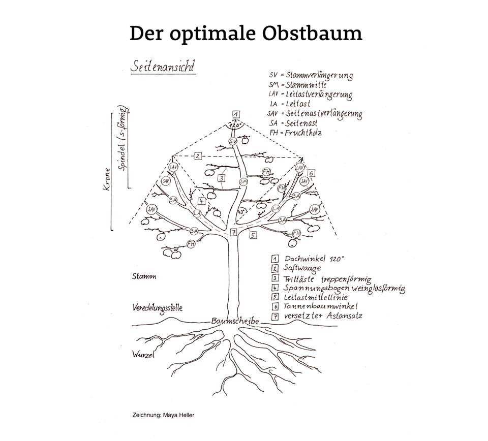 Pflaumenbäume Schneiden unsere schnittphilosophie obstbaumschnittschule