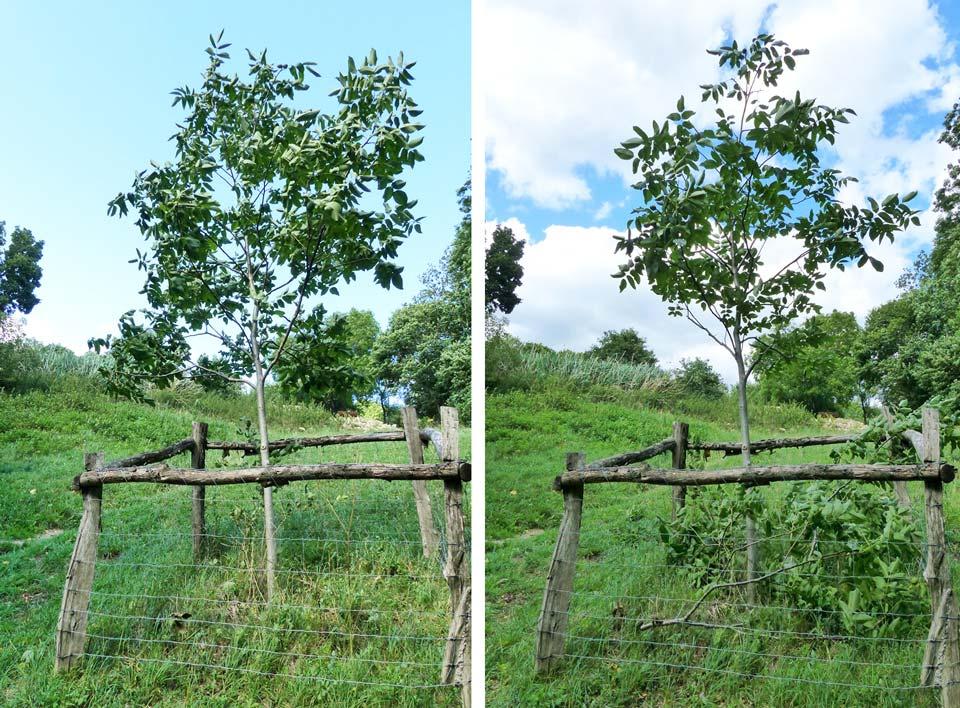 walnussbaum-schnitt-jungbaum